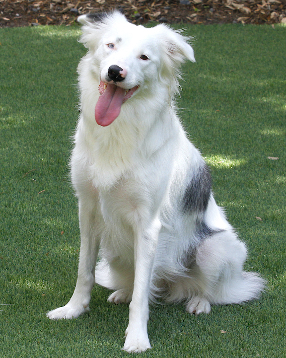 stone garden mascot gray and white border collie dog sitting on a green lawn